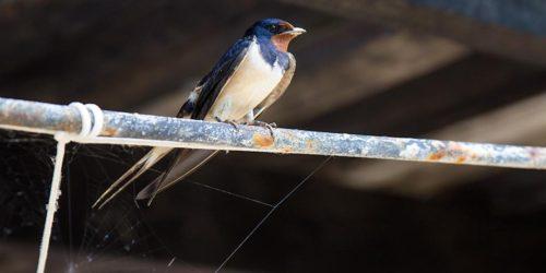 Swallow_bird_01