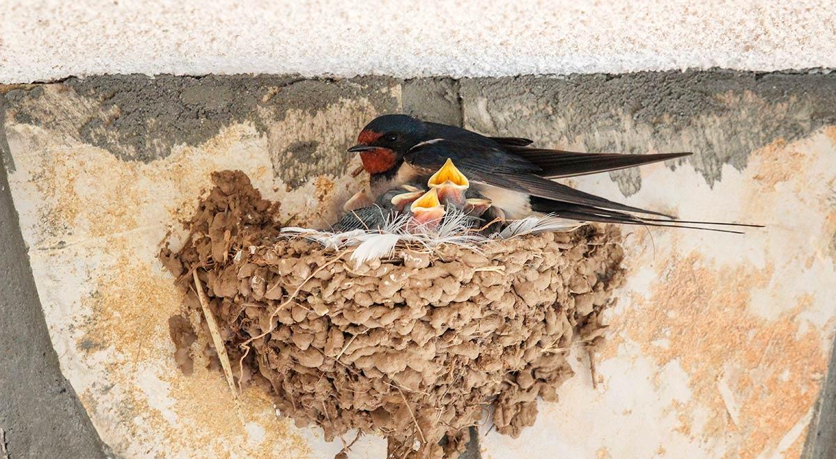 Barn Swallow Bird House How To Build
